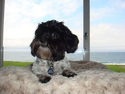 """Orbit"" a Shih Poo living in Anacortes"